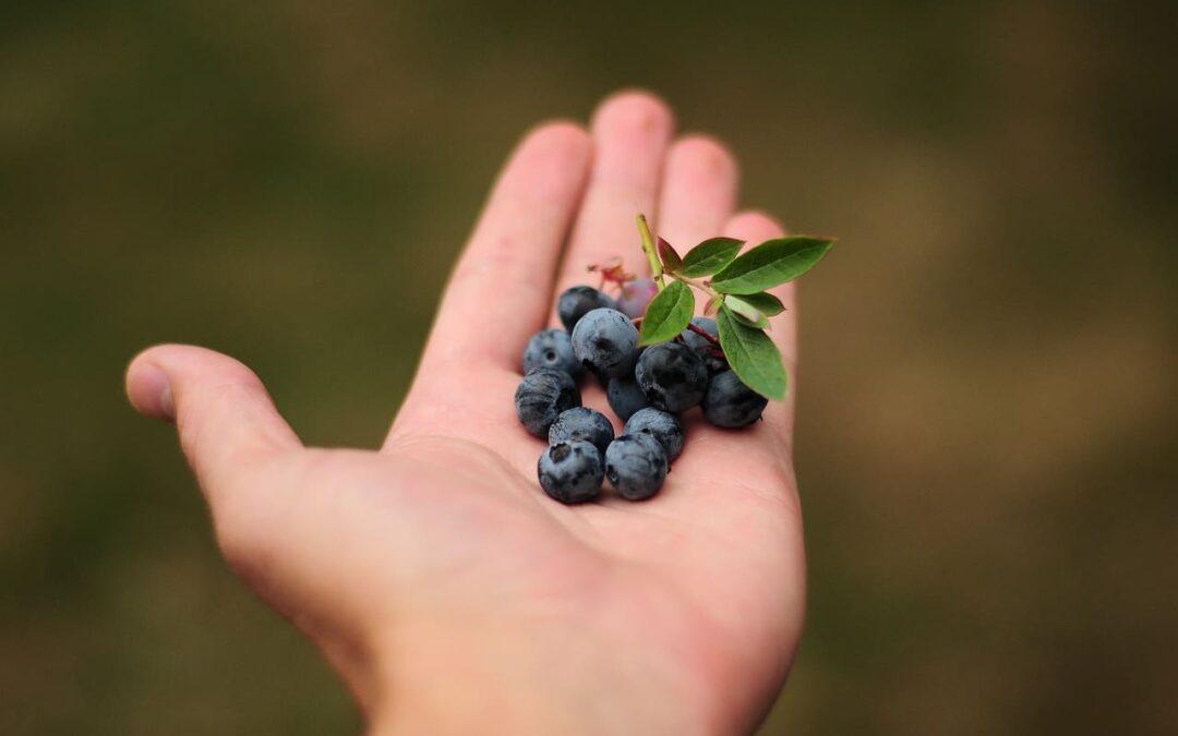 Arándanos, la fruta del siglo XXI