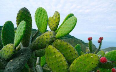 Higo chumbo, la espinosa y deliciosa fruta de la chumbera